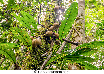 Cocoa Pods, South America - Cacao Tree Is A Small Evergreen...