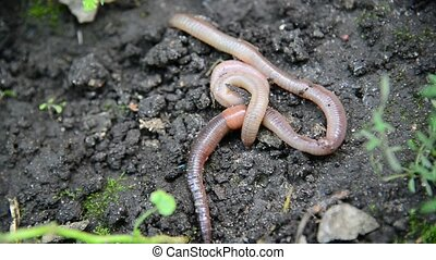 The earthworms lie on ground - The earthworms lie on the...