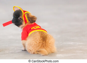 Pekingese, Also Known As Lion Dog