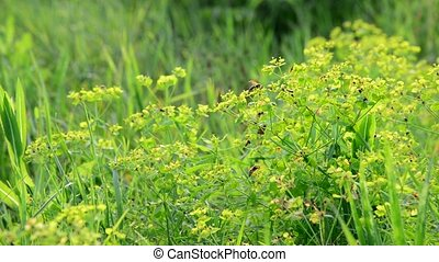 Grass meadow with wild bees, Russia - Grass meadow with a...