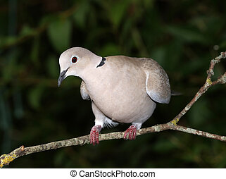 Collard Dove - Close up of a Collard Dove