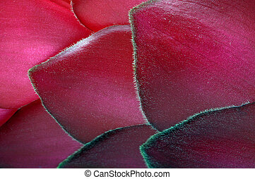 Alpinia flower petals - Red Alpinia flower petals close up...