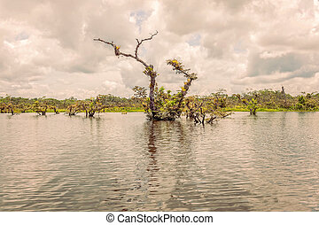 Mangroves Forest In Amazonian Rainforest, South America