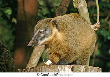 Coati eating on tree Dark foliage background with tree...