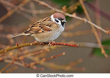 Eurasian tree sparrow - Photo of Eurasian tree sparrow...