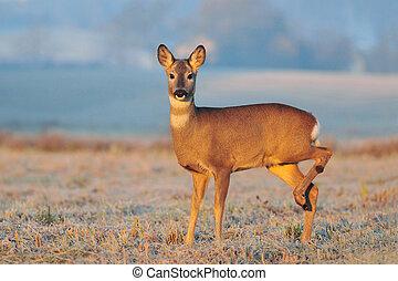 Roe deer in a early winter morning