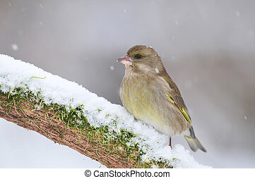 Greenfinch in winter - Greenfinch standing on a snow covered...