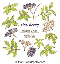 elderberry vector set - elderberry elements vector set on...