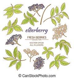 elderberry vector set - elderberry elements vector set on...