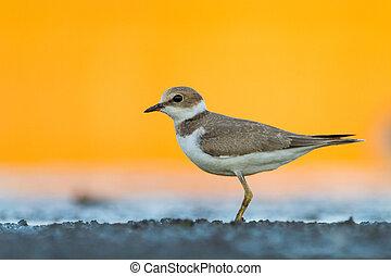 Little ringed plover-Charadrius dubius.