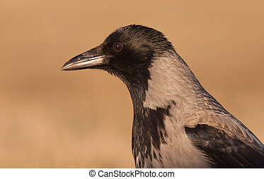 Hooded crow-corvus cornix - Hooded crow at a feeding place...