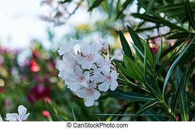 oleander flowers natural bouquet closeup