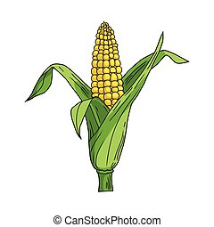 Corncob with leaf on white background. Vector illustration