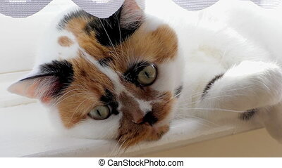 Adorable cat lying on windowsill - Close up of white with...