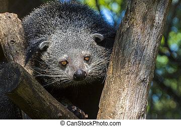 Bearcat of Binturong - Binturong or bearcat Arctictis...