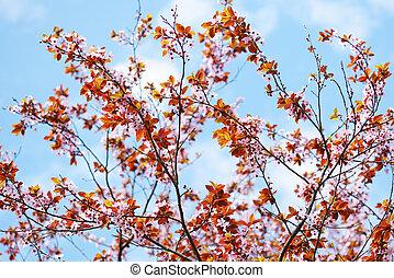 sakura, árbol, flor