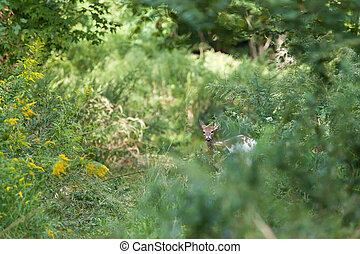 Piebald Whitetail Deer - A Piebald Whitedail Deer hides in...