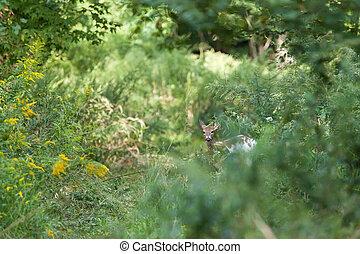 Piebald Whitetail Deer - A Piebald Whitedail Deer hides in...