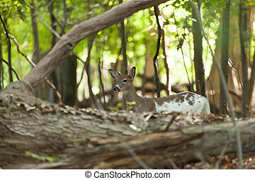 Female Piebald Whitetail Deer - A female Piebald Whitetail...