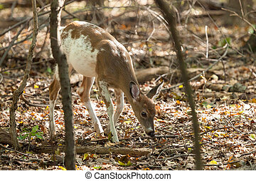 Male Piebald Whitetail Deer - A male Piebald Whitetail deer...