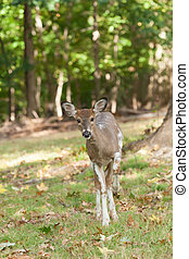 Female Piebald Whitetail Deer - a female whitetail piebald...