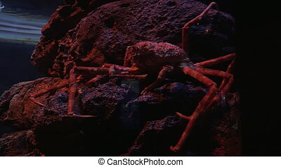 Spider crab in aquarium - Big Japanese spider crab resting...