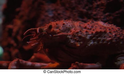 Japanese spider crab in aquarium - Close-up shot of spider...