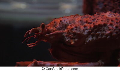 Japanese spider crab - Close-up shot of Japanese spider crab...