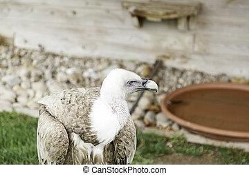 Wild vulture in captivity, detail of a wild bird