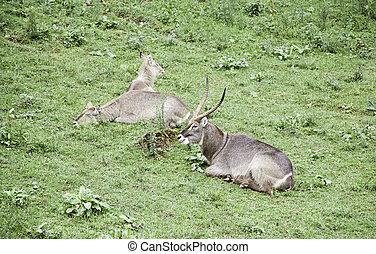 Wild antelopes, detail of mammals wild animals