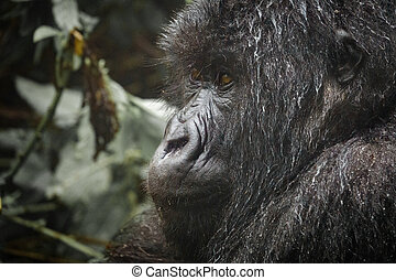 Closeup of mountain gorilla face - Profile closeup view of...