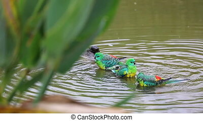 Group Of Red-Rumped Parrot Taking A Bath