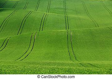 Green wheat on wavy fields
