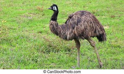 Emu Bird in Nature - Emu Bird In A Field In Australia