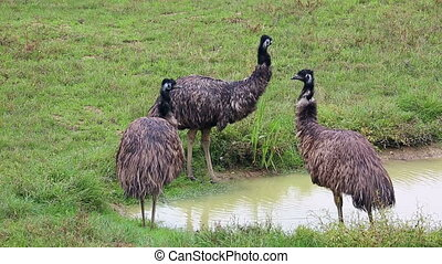 Group Of Emu Birds In A Field In Australia