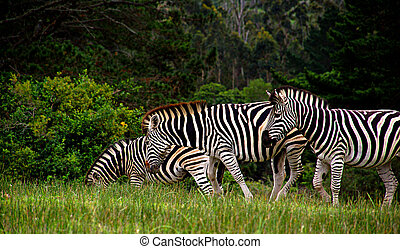 Zebra - Three Zebras grazing in the afternoon sunlight