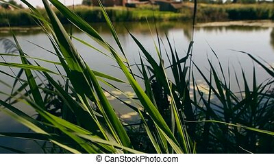 Natural background of green reeds against sparkling water...