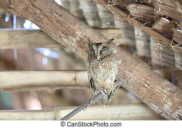 Everett's scops owl (Otus everetti) in Rajah Sikatuna...