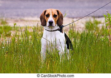 Beagle dog - Young beagle dog sitting in a grass