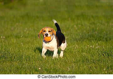Beagle dog - Happy beagle dog plays with a ball in a park