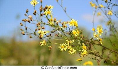 Yellow wild flower in wind