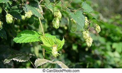 Hop with cones wrapped maple - A Hop with cones wrapped a...