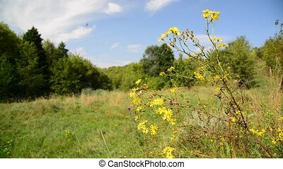 Yellow wild flower in wind on meadow in Russia - Yellow wild...