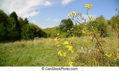 Yellow wild flower in wind on meadow in Russia
