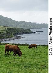 Irish coast landscape - Beefs grazing in green meadows on...