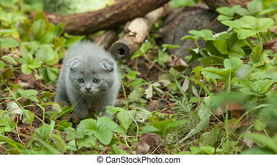 scottish fold young kitten seats on the branch