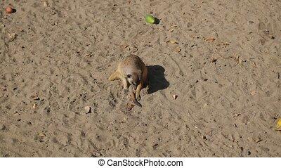 meerkats digging in the sand