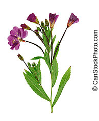 Pressed and dried delicate lilac flowers fireweed (epilobium...