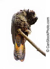 cockatoo, isolado, pretas,  tailed, branca, vermelho