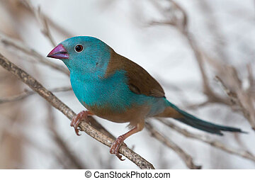 Blue Waxbill Finch Bird - Blue waxbill bird from Africa...